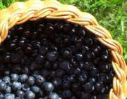 Wild blueberries aka bilberries