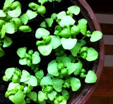 How to Grow Basil Microgreens in Pots at Home