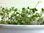 broccoli microgreens grown indoors in winter