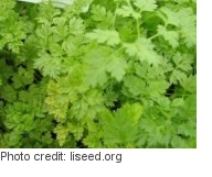 Growing chervil microgreens