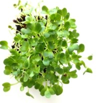 Radish microgreens grown in containers