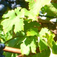 4 Health Benefits of Eating Grape Leaves