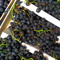 Concord Grape Health Benefits