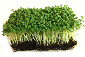 Garden Cress Health Benefits And Nutritional Value