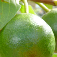 5 Health Benefits of Guava Fruit