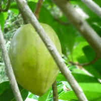 Health Benefits of Kakadu Plum