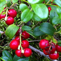 Why Lingonberries Are Healthy