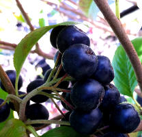 Wild Maqui Berry A Superfood With Proven Health Benefits