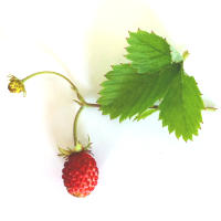 Wild Strawberry Leaf Tea