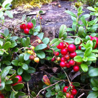 Bearberry Extract is Good for Your Skin