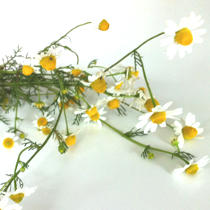 Chamomile Tea for Hay Fever