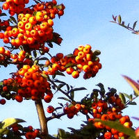 Sea Buckthorn for Acne and Eczema