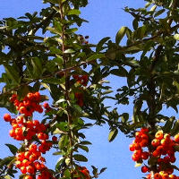 Sea Buckthorn Tea for Weight Loss