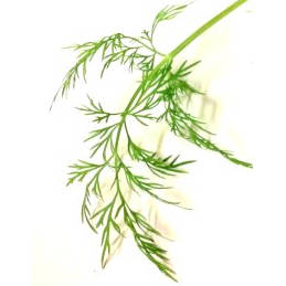 Substituting dried dill for fresh dillweed