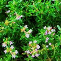 Thyme Honey: Anti-Oxidant and Anti-Cancer Effects